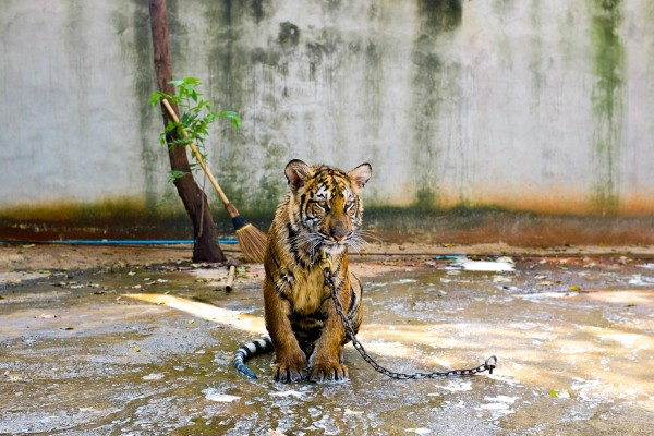A chained tiger sits on a concrete floor