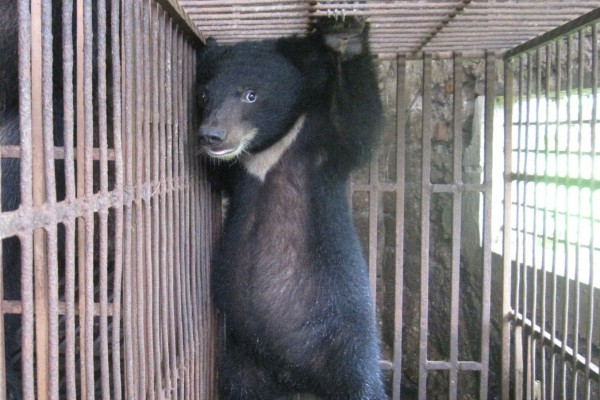 Ending the bear bile industry