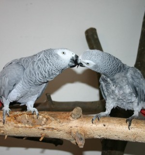 Two African grey parrots in captivity - Wildlife. Not pets - World Animal Protection