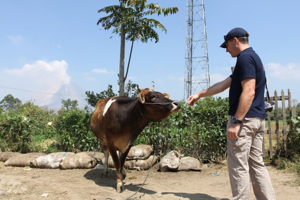 Man guiding a cow