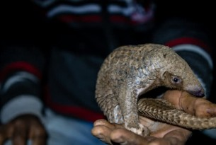 Pangolins are poached from the wild for the global wildlife trade.