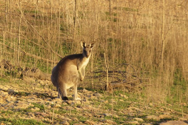 10 places to spot Australian animals in the wild