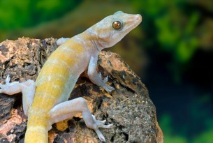A golden gecko perched on a rock. His back is facing the camera and he's looking to the right.