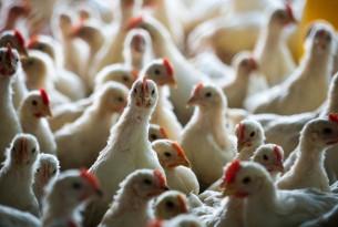 Chicken_Factory_Farming