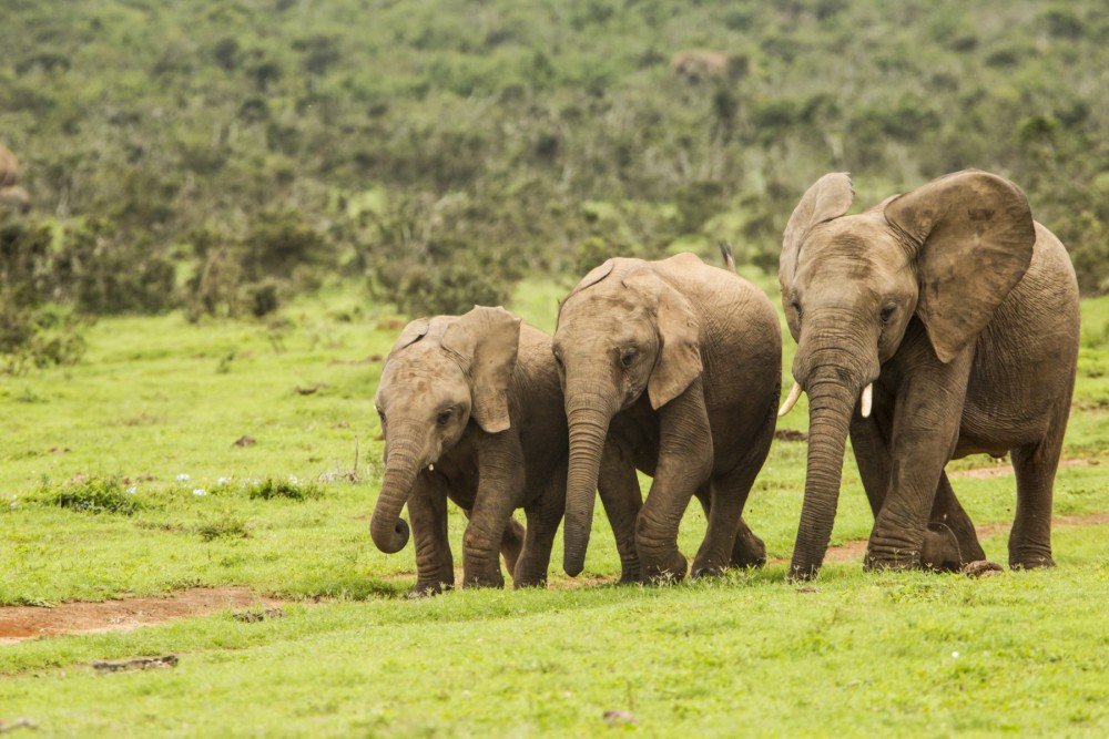 African elephants walking together