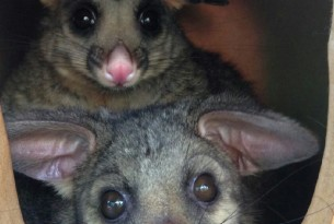 A mother and baby possum at Hunter Wildlife