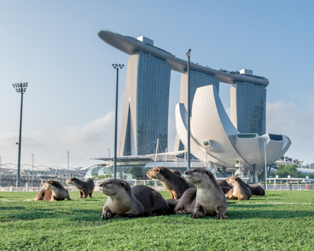 Several wild Asian otters lay on the grass in the sunshine. Tall buildings are visible in the background - Singapore has wildlife-friendly environments where wild otters thrive