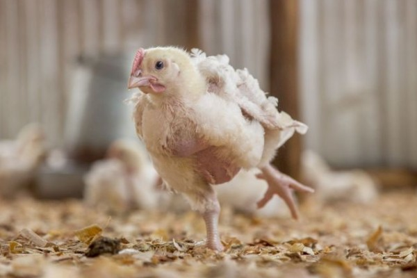 Chicken in an industrial farm - World Animal Protection - Change for chickens