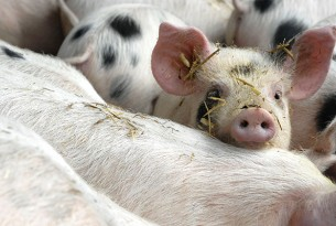 Pigs in high-welfare group housing