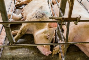US Pork Superbug Crisis | World Animal Protection