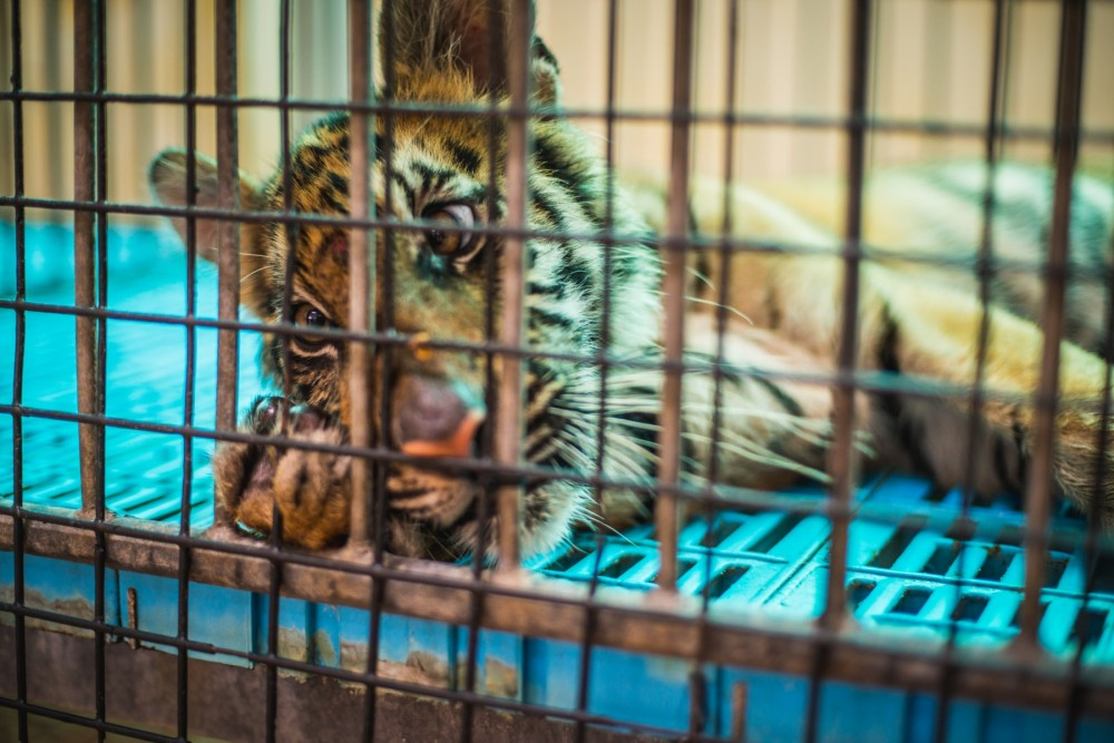 A baby tiger spends the entire day in this tiny cage, at a venue where tourists pay to feed these baby tigers with milk.
