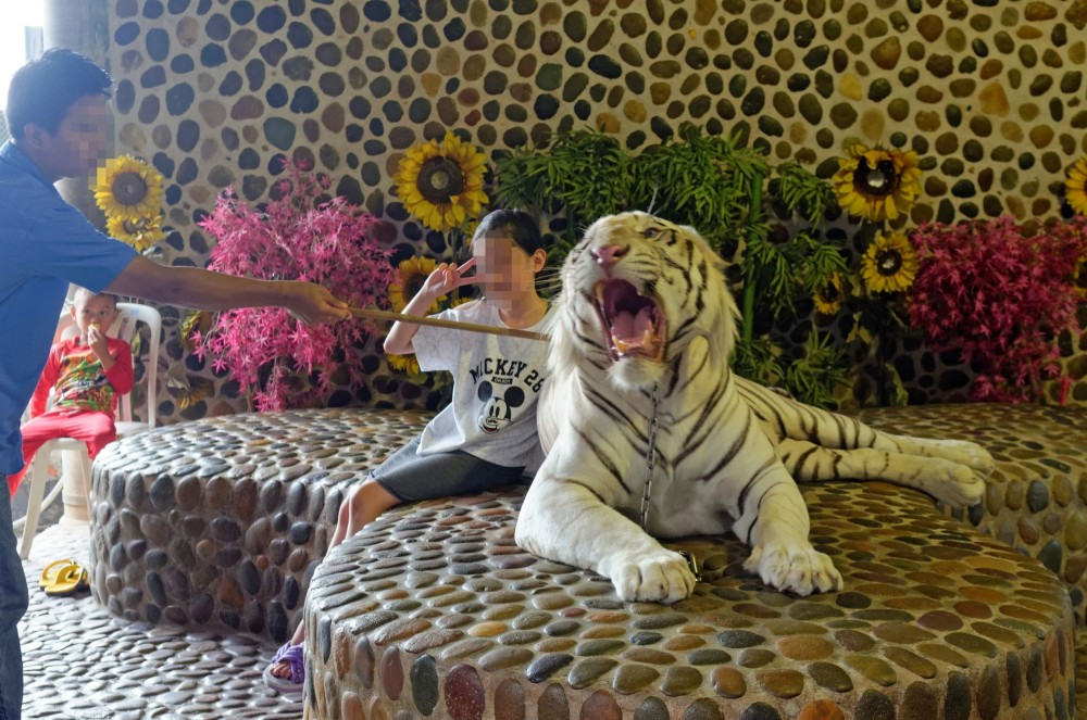 Tourists pose for photos with captive tigers at Million Year Stone Park, Thailand