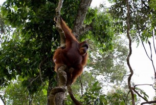 Animal Protectors encounter orangutans in the Sumatran jungle