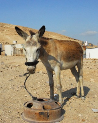 Our member society PWLS run clinics and HBC workshops to improve animal welfare for working equines in Palestine. Pictured: a donkey in one of the Bedouin communities.