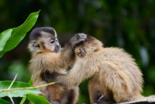 Wild young capuchin monkeys - Mauricio Forlani/ World Animal Protection Brazil