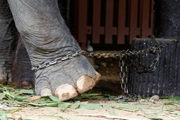 An elephant chained at a low welfare venue