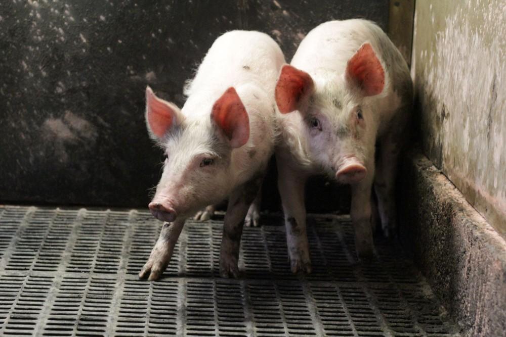 Varkens in een stal