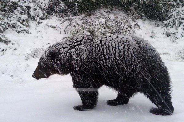 Pictured: A bear at the Romanian sanctuary walking after a snow storm.