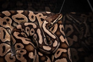Wild capture, pet expos and our homes: ball pythons are suffering in silence