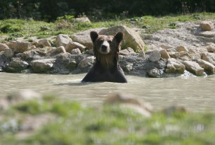 A bear emerging form the pool at the Romanian bear sanctuary