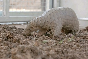 One of the rescued pangolins at a wildlife centre in Thailand