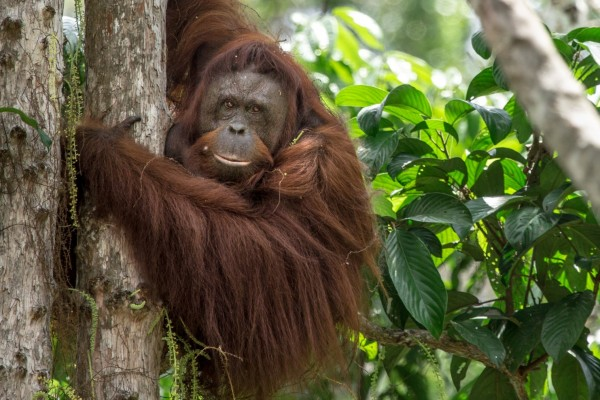 Orangutan in a tree - World Animal Protection - Animals in the wild