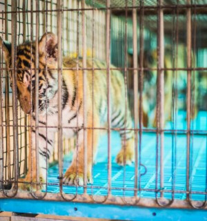 A captive baby tiger in Thailand