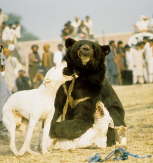 Bj?rne-hundekamp i Pakistan