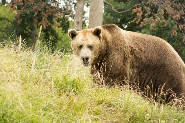 Gheorghe exploring his new found freedom at the Zarnesti Bear Sanctuary in Romania