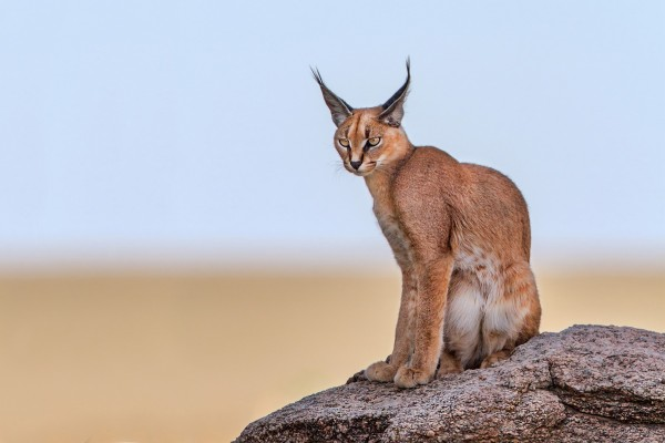 Pictured: A caracal in the wild.