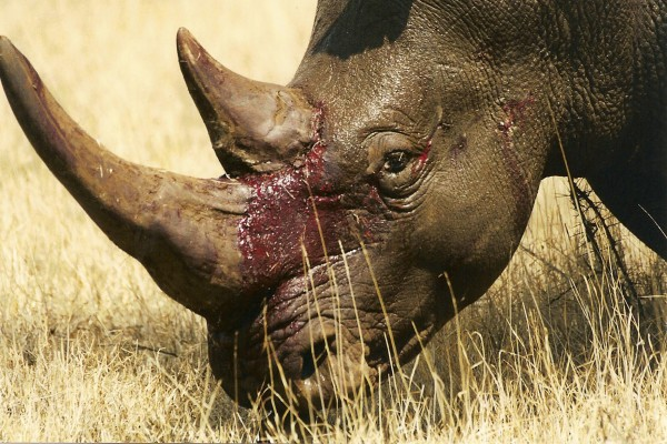 Rhinos are killed for their horns
