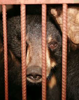 A bear in a cage farmed for its bile