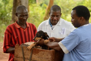 Man brings his dogs to be vaccinated against rabies in Zanzibar, Tanzania
