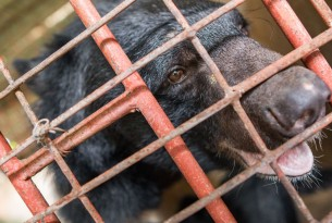 Five Asiatic black bears have been rescued from the horrific abuse of bear bile farming