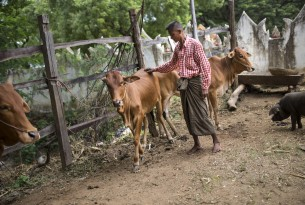U Nyunt Win, a livestock owner and father of seven children, with one of his cows in a temporary camp in Phayargone village, Myanmar.