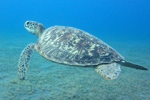 A wild green sea turtle off the Solomon Islands. Cayman Turtle Farm (CTF) is the last facility in the world that breeds turtles for commercial use. Credit Line: Neil Cook