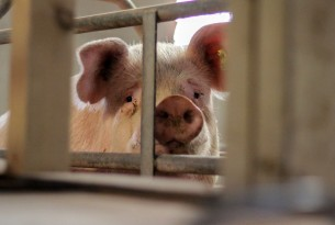 A tale of two pigs: which life would you choose?