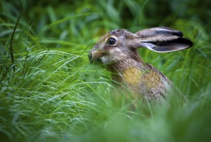 A European land hare
