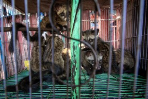 Civet babies at a market in Jakarta, Indonesia. Photographer Reference: Aaron Gekoski