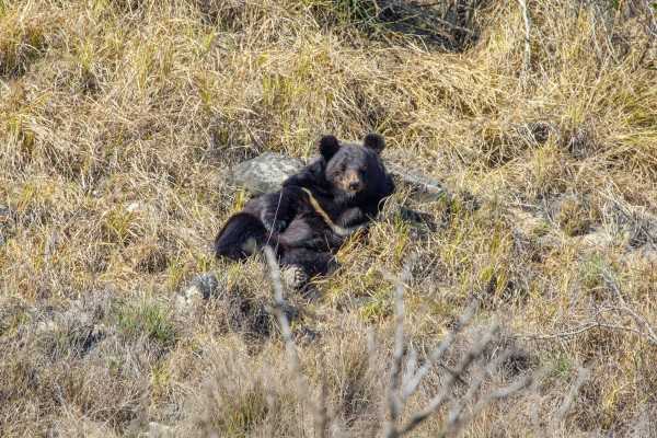 A bear in a new enclosure at the Balkasar Bear Sanctuary