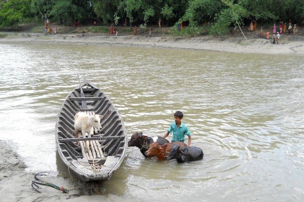 A young livestock owner is moving his animals across this swollen river