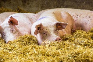 Pigs in straw on a high welfare farm