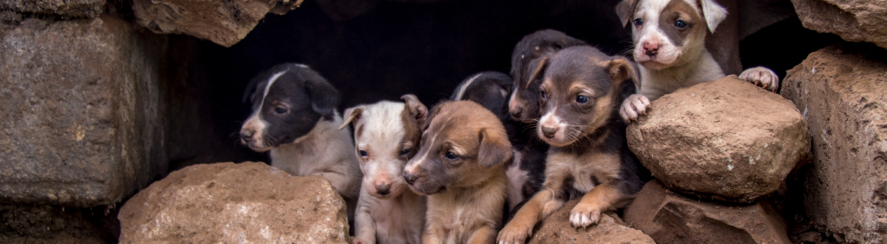 Litter of 9 puppies taking shelter in a stone wall near the vaccination drive in Kenya