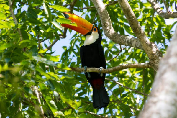 A wild toucan in a tree