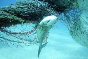 Fish caught in ghost gear