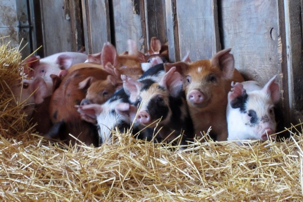 Pigs at a high welfare farm in the US.