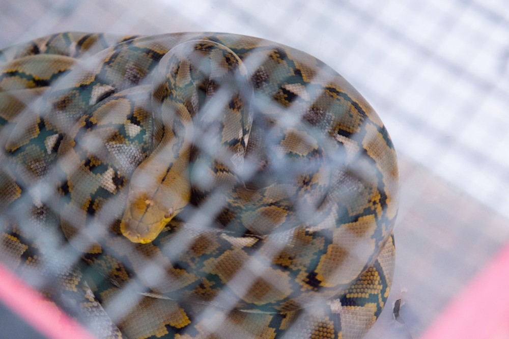 Snake in captivity in Bali - World Animal Protection - Coronavirus