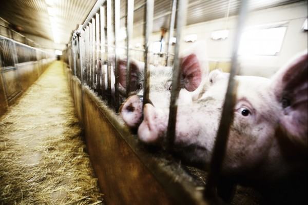 pig on factory farm