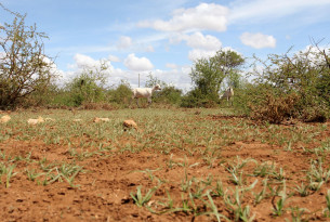 A goat walks through an arid landscape in Kajiado County Kenya