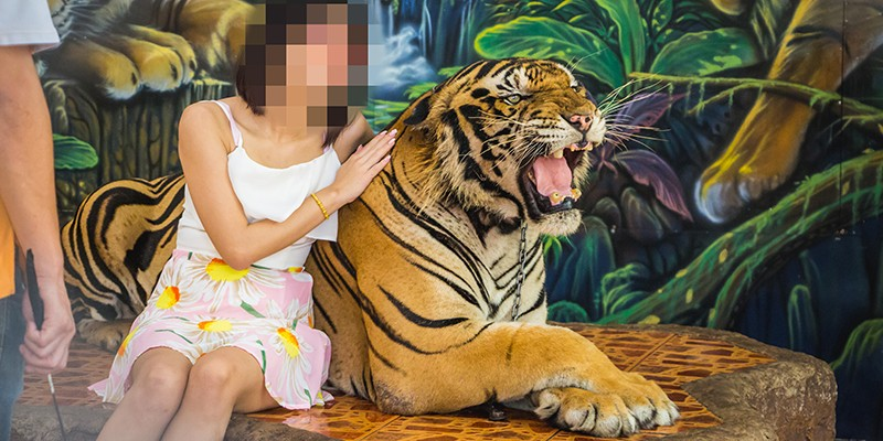 A tourist poses for a photo with a chained tiger